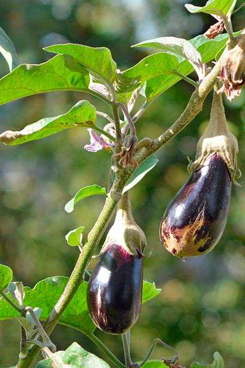 Eggplant-is-a-vegetable